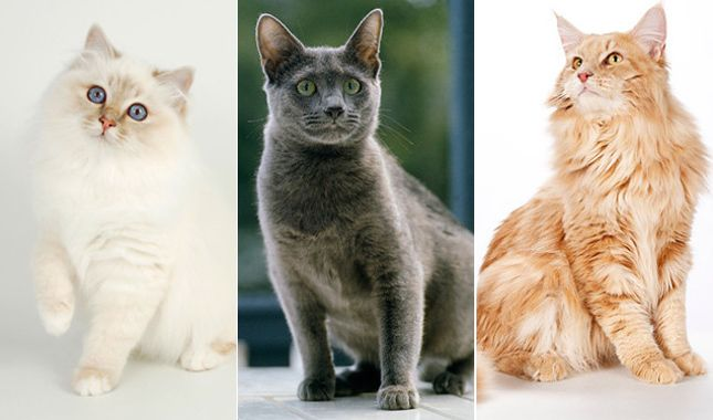pedigreed cat breeds birman russian blue maine coon