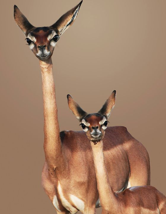 Gerenek Antelope from East Africa Cute Baby Animals Funny Animals Mother And Baby Animals