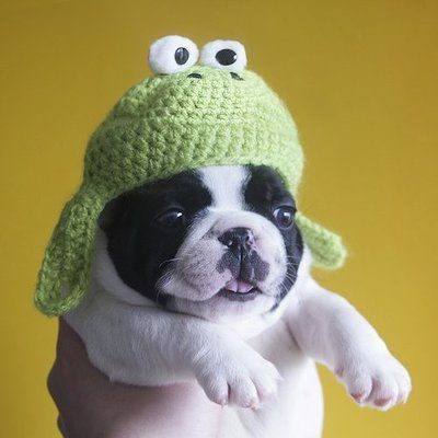 Chub chub Boston Terriers Terrier Dogs Tumblr Fat Puppies Cute Dogs And