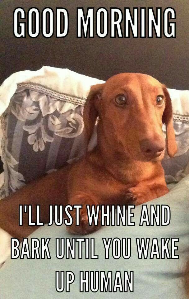 Dachshund Funny Dachshund Gifts Dachshund Puppies Weenie Dogs Dachshund Love Daschund