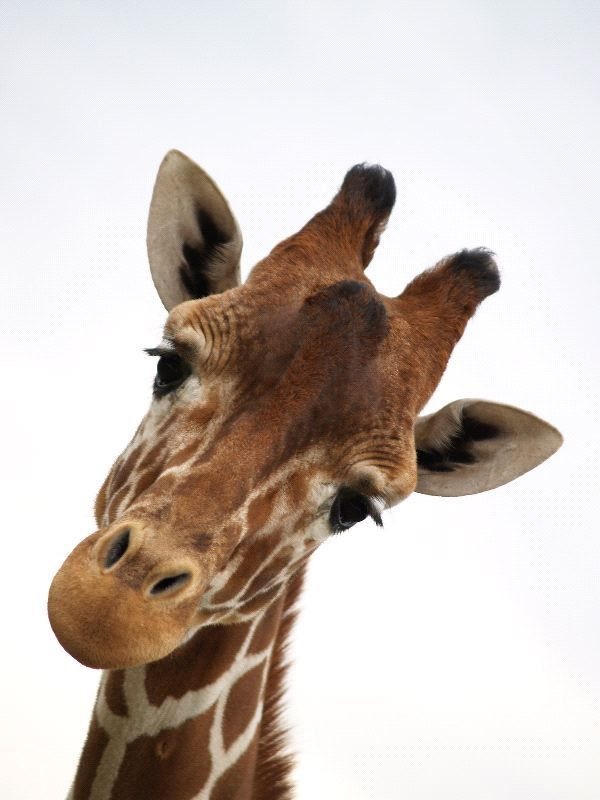 Watch the Shocking Funny Animal Pictures Giraffe