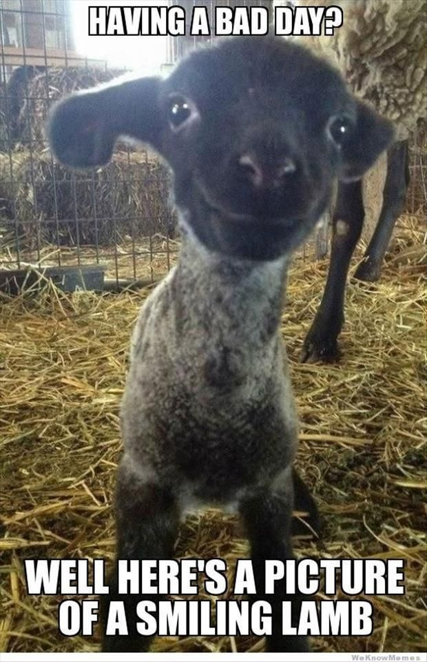Smiling lamp quotes memes quote happy meme animals cute lamb smile