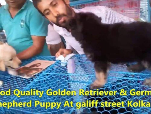 golden retriever puppy video