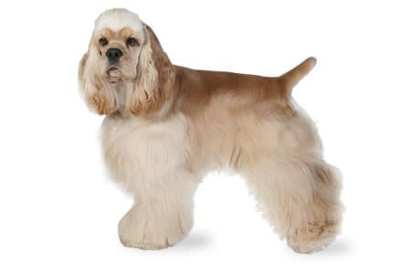 Cocker Spaniel Dog Breed Information Characteristics & Facts Dogtime
