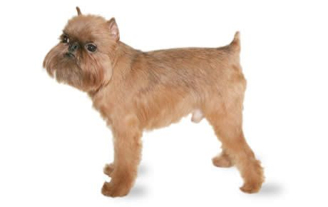 Brussels Griffon Dog Breed Information Characteristics & Facts – Dogtime