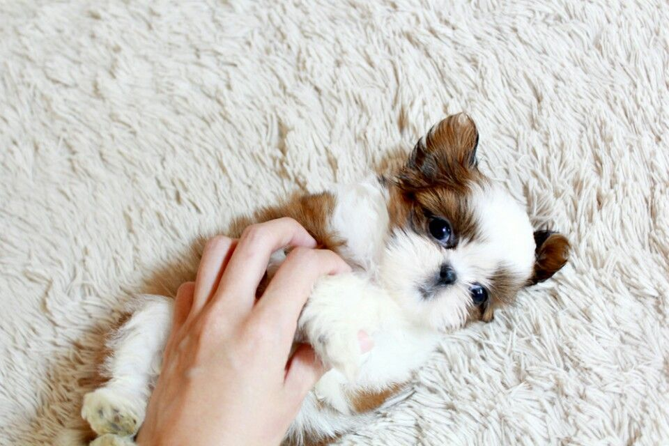 oh my GOD look at this tiny shih tzu not mine dogpictures dogs aww cuteanimals dogsof dog cute