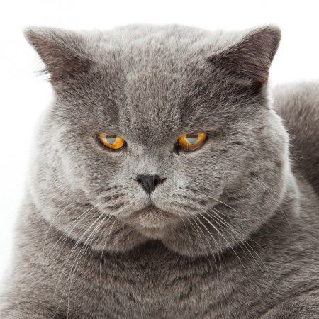 British shorthair cat on a white background british cat isolated — Stock