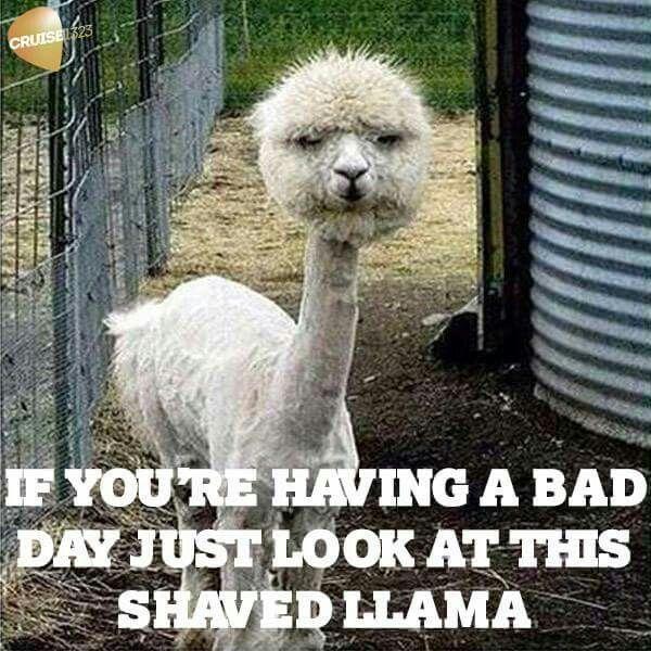 Shaved llama animal memes
