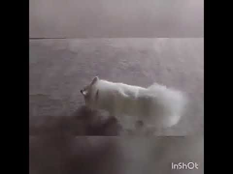 A Husky dog moved into a new one with stairs